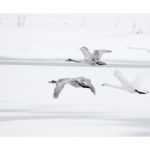 Cygnes chanteurs en vol ,photo vezon