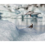 sternes arctiques,mère et jeune