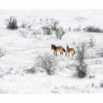 Chevaux de Przewalski en hiver sur le Causse
