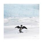 Cormoran en Islande en hiver