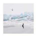Cormoran et goeland en islande en hiver