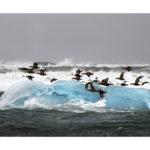 eiders et iceberg en Islande en hiver