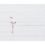 Flamant rose sur un marais glacé en Camargue en hiver