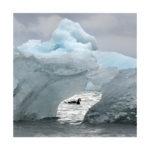 Bernache et iceberg,au Spitzberg