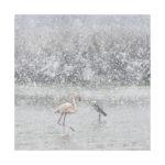 Héron et flamant sous la neige en Camargue
