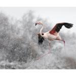 Flamant rose sous la neige en Camargue