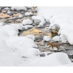 Renard traversant une rivière en hiver