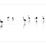 En Camargue,les flamants roses,photo en noir et blanc de Thierry Vezon