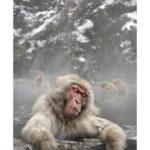 Le bain du macaque du Japon dans les sources d'eaux chaudes en hiver