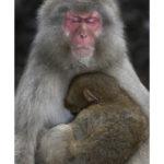Macaque du Japon par Thierry Vezon