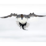Photo de canard pilet en vol